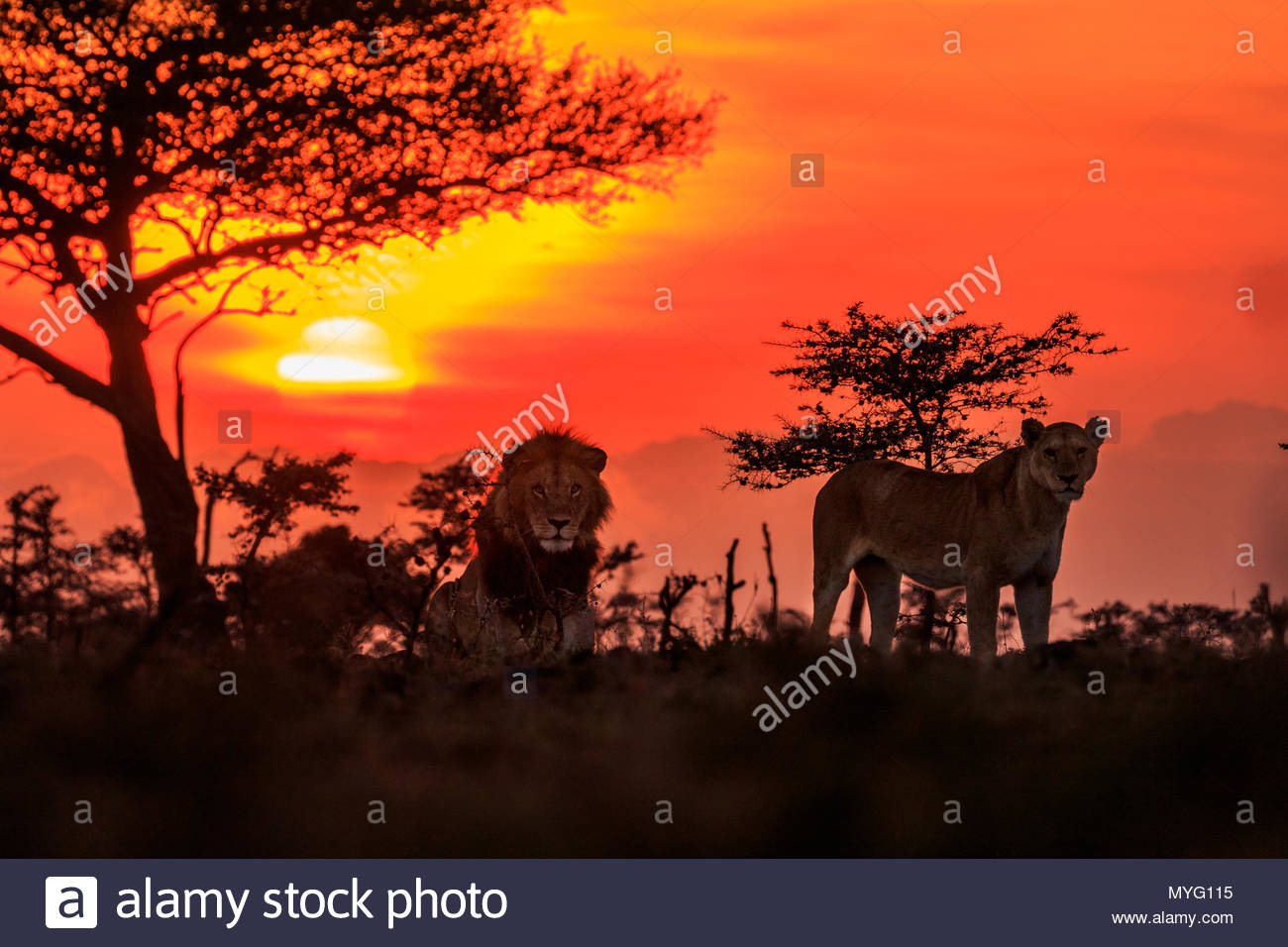 Male and female lions at sunrise. - Stock Image