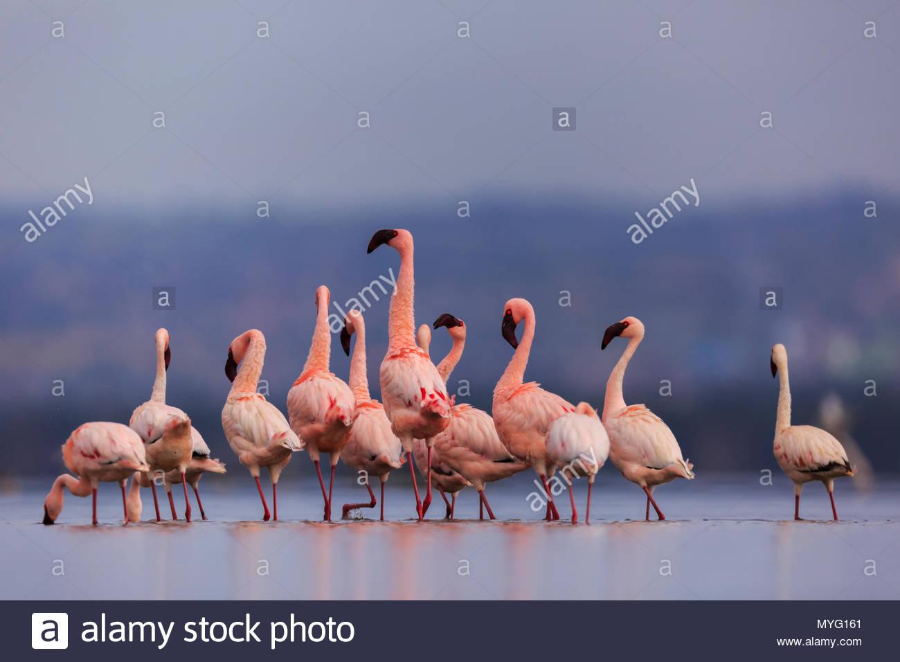 Lesser flamingos wade in Lake Nakuru. - Stock Image