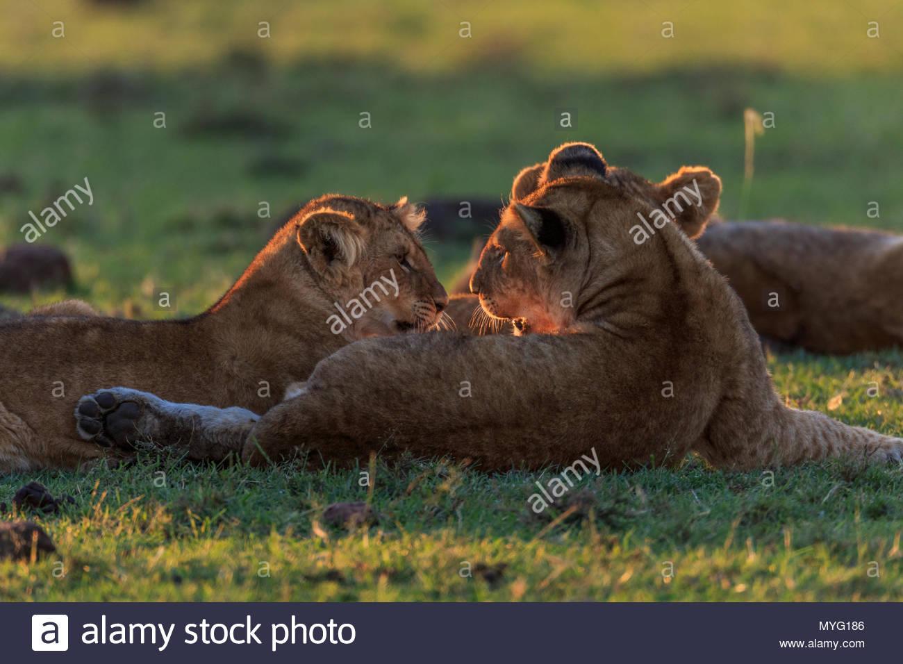 Lion cubs (Panthera leo) interact at sunset. - Stock Image