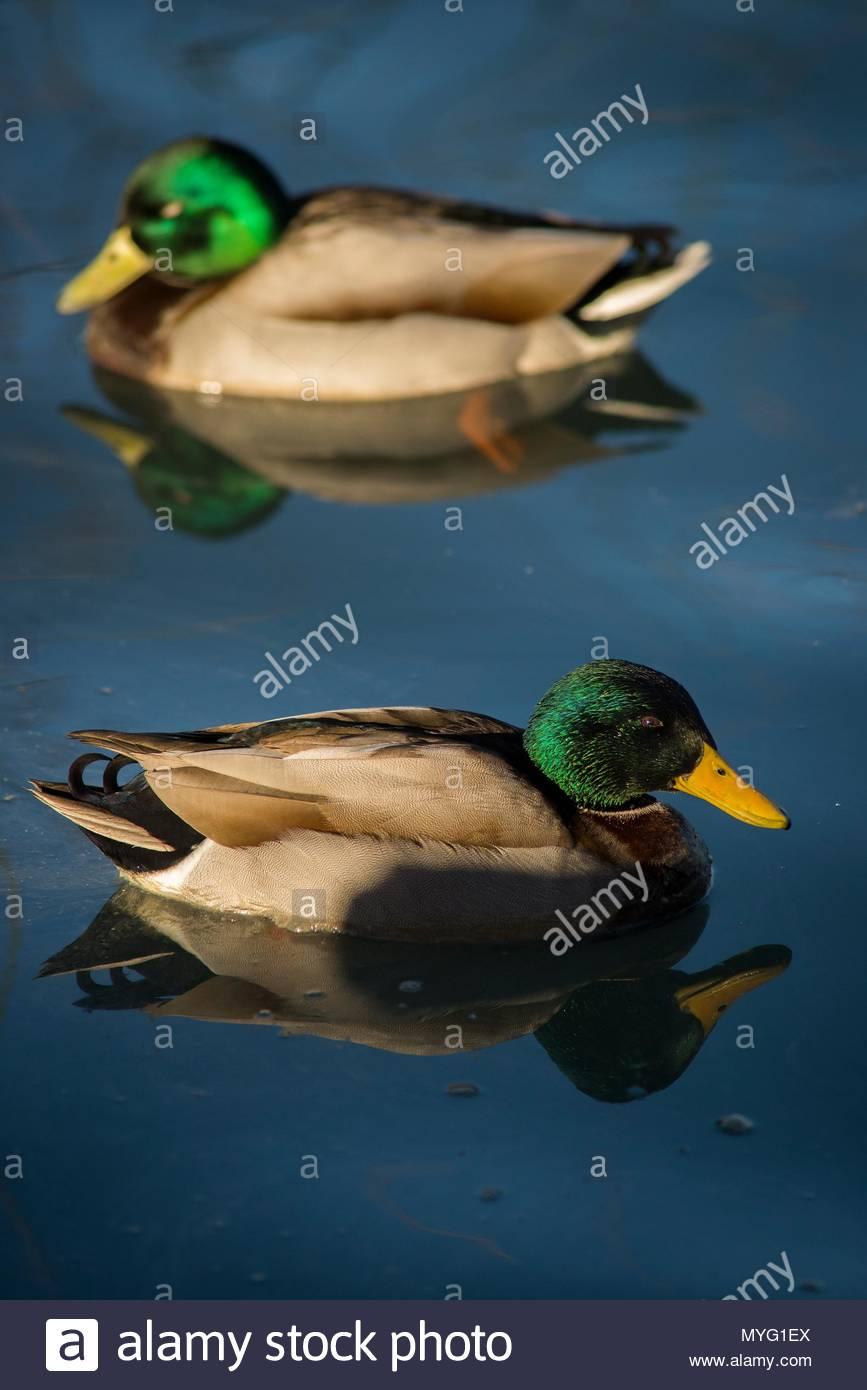 Two male Mallard ducks (Anas platyrhynchos). Stock Photo