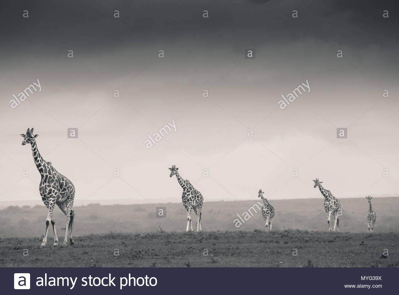 Reticulated Giraffes stroll across the plains of Solio Rhino Sanctuary. - Stock Image