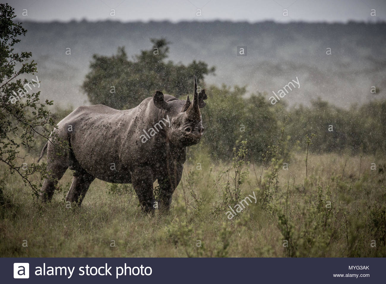 A black rhino stands in the pouring rain in Solio Rhino Sanctuary. - Stock Image