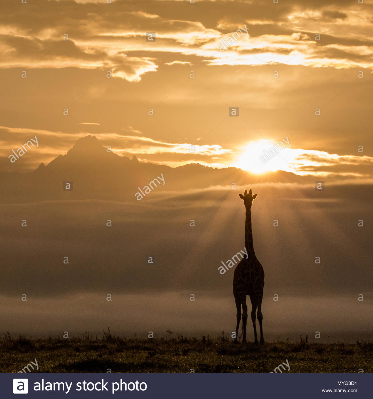 Reticulated Giraffe and sunrise over Mount Kenya. - Stock Image