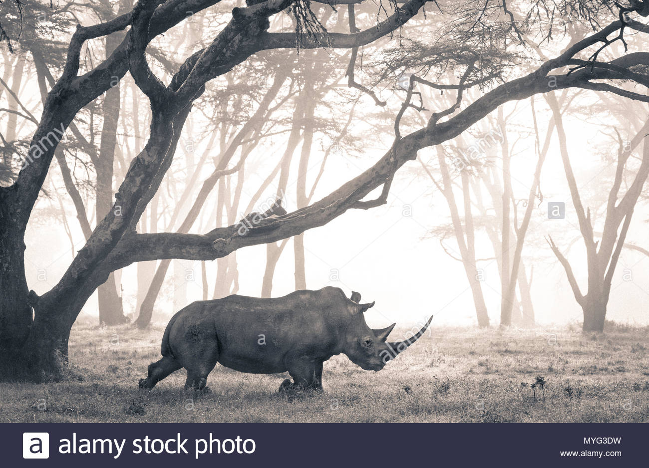A Southern White Rhino moves through a mist-shrouded fever tree forest. - Stock Image