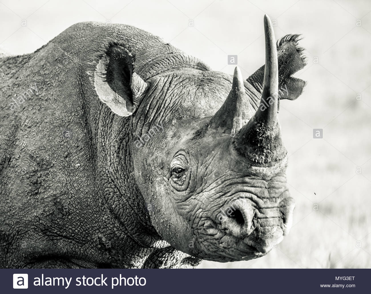 Portrait of a Critically Endangered Black Rhino in Solio Rhino Sanctuary. - Stock Image