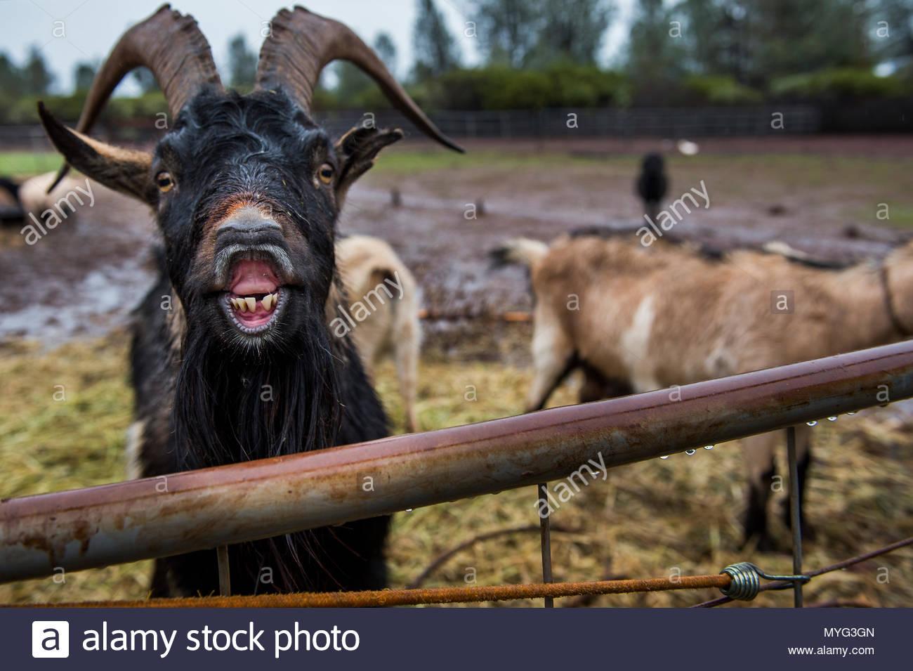 A goat bleats on a farm. - Stock Image