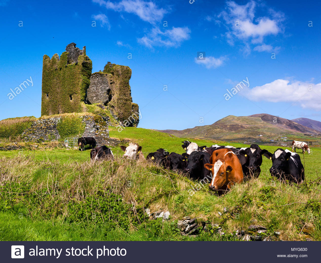 Cows gaze over a wall at Balycarbery castle in Kerry. - Stock Image
