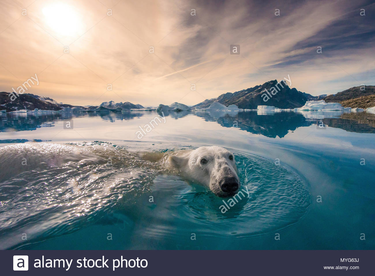 A polar bear swims on the water's surface. - Stock Image