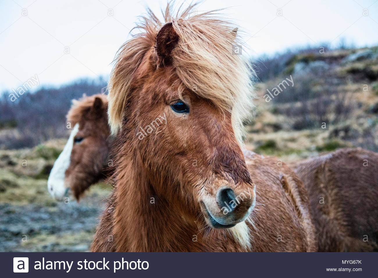 Portrait of an Icelandic pony, Equus caballus. - Stock Image