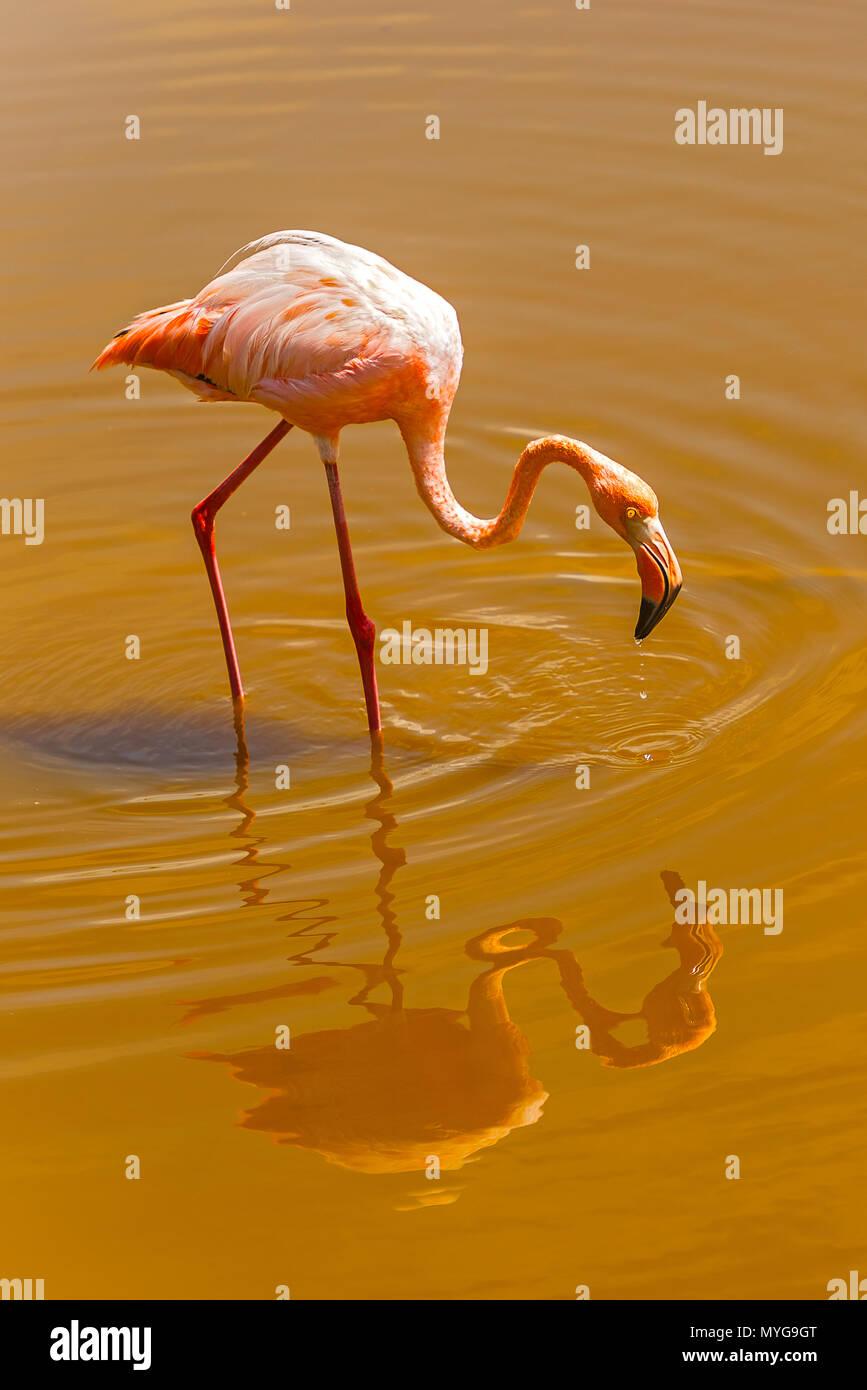 Greater Flamingos (Phoenicopterus roseus) at Isabela, Galapagos Islands, Ecuador - Stock Image
