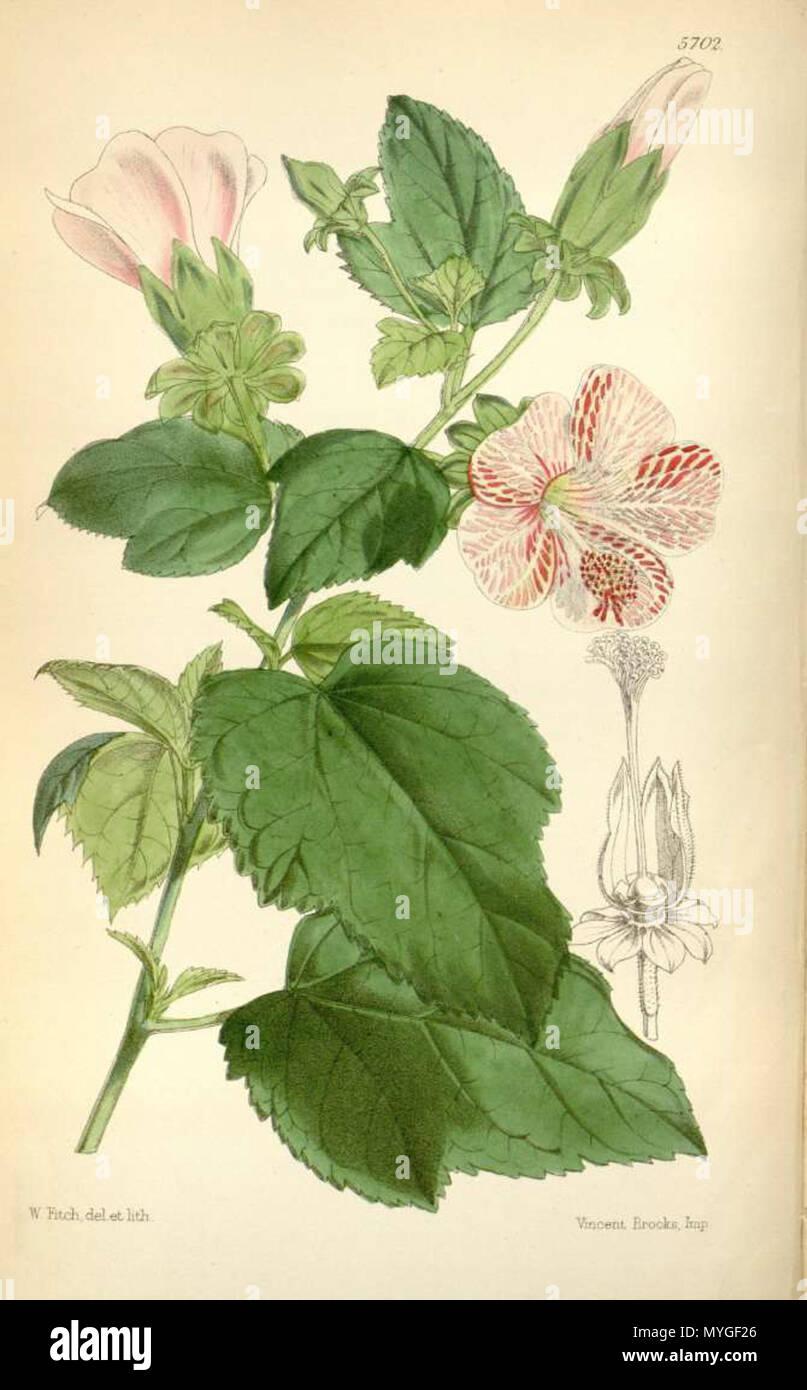 . English: Hibiscus lavateroides, as Hibiscus marmoratus . 5 November 2011. W.H. Fitch (1817 - 1892) 240 Hibiscus lavateroides Stock Photo