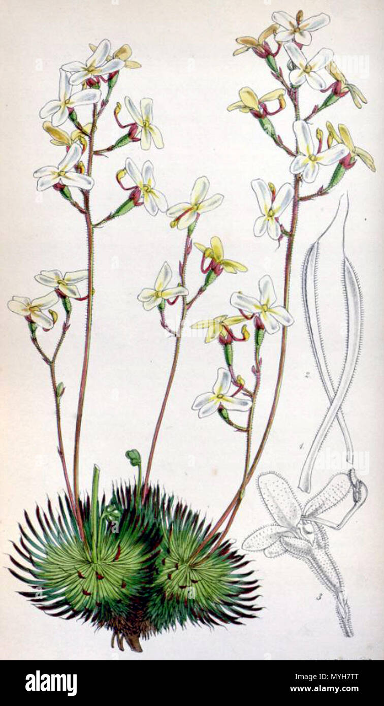 . Botanical print of Stylidium ciliatum (printed as S. saxifragoides, which was later reduced to synonymy with S. ciliatum) from . 1850. Walter Hood Fitch (1817-1892) del. et lith. Description byJohn Smith (1798-1888) 506 Stylidium saxifragoides 4529 Stock Photo