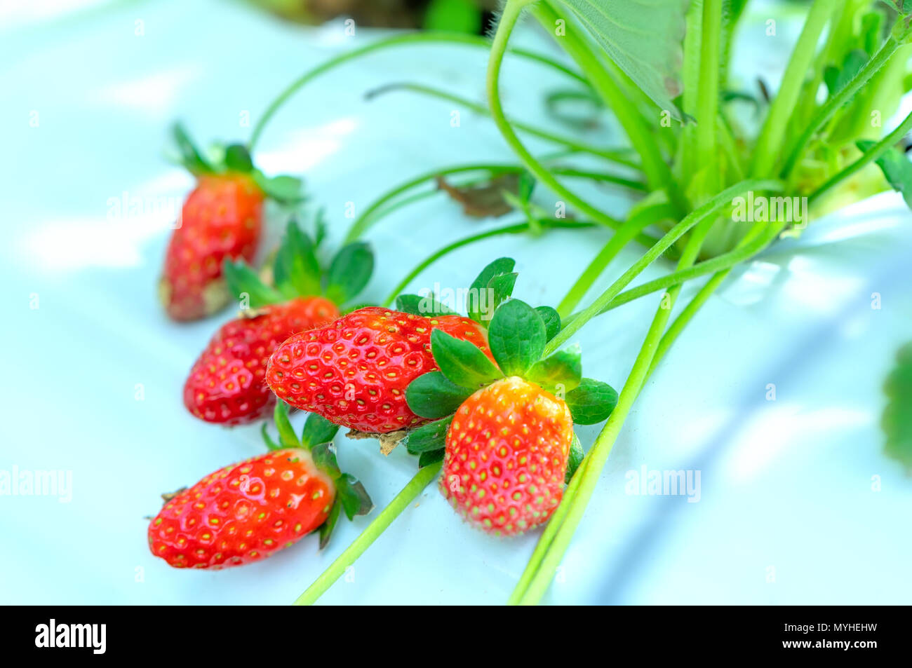 Red ripe strawberries on the rack in the garden. This fruit is rich in vitamin C and minerals beneficial to human health - Stock Image