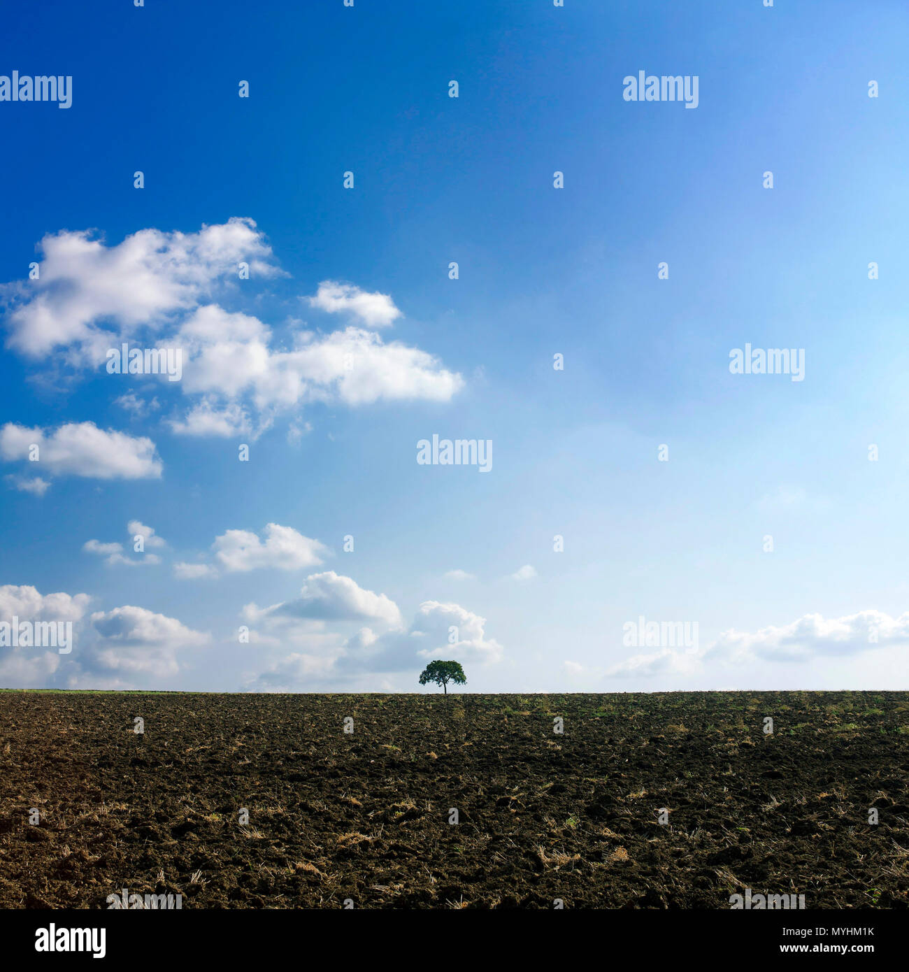 Isolated tree in a field, Auvergne, France - Stock Image
