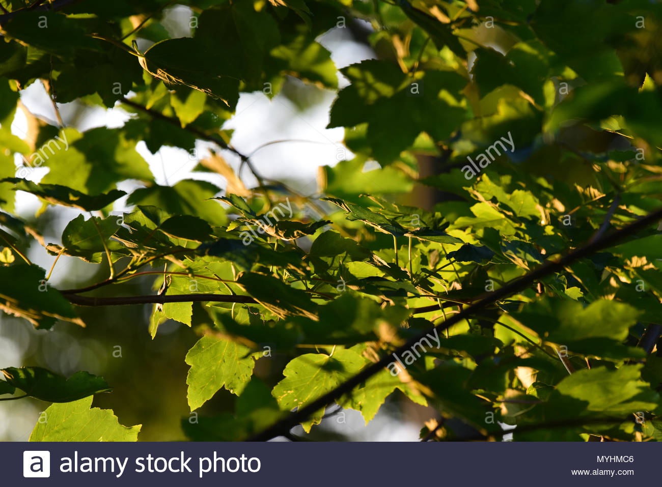 Close up shot of leaves on a tree in the evening sunshine. - Stock Image