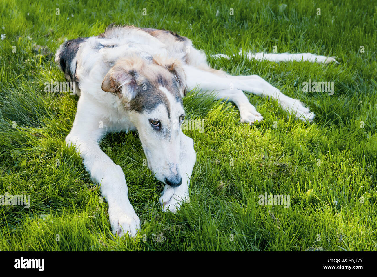 Sad big white dog Russian Greyhound sick on the lawn in the street. Possible tick bite. - Stock Image