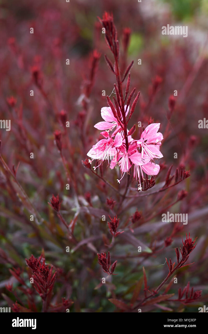 Oenothera lindheimeri with red foliage Stock Photo