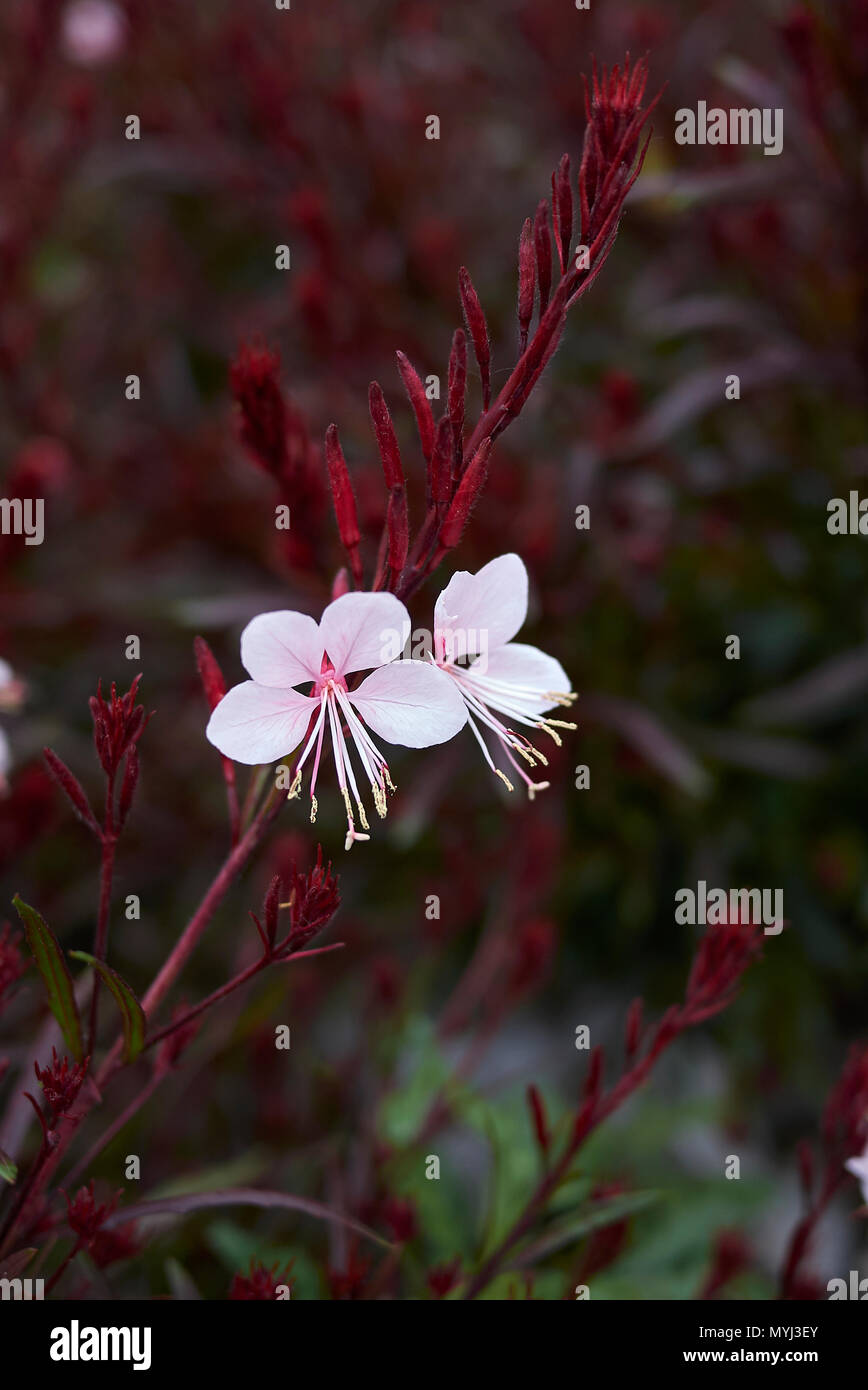 Oenothera lindheimeri with red foliage - Stock Image