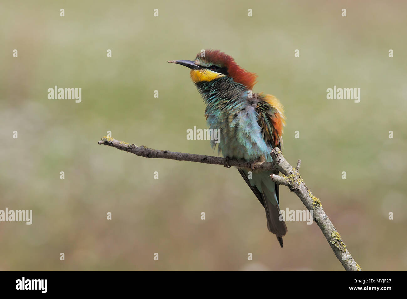 Bee-eater - Stock Image