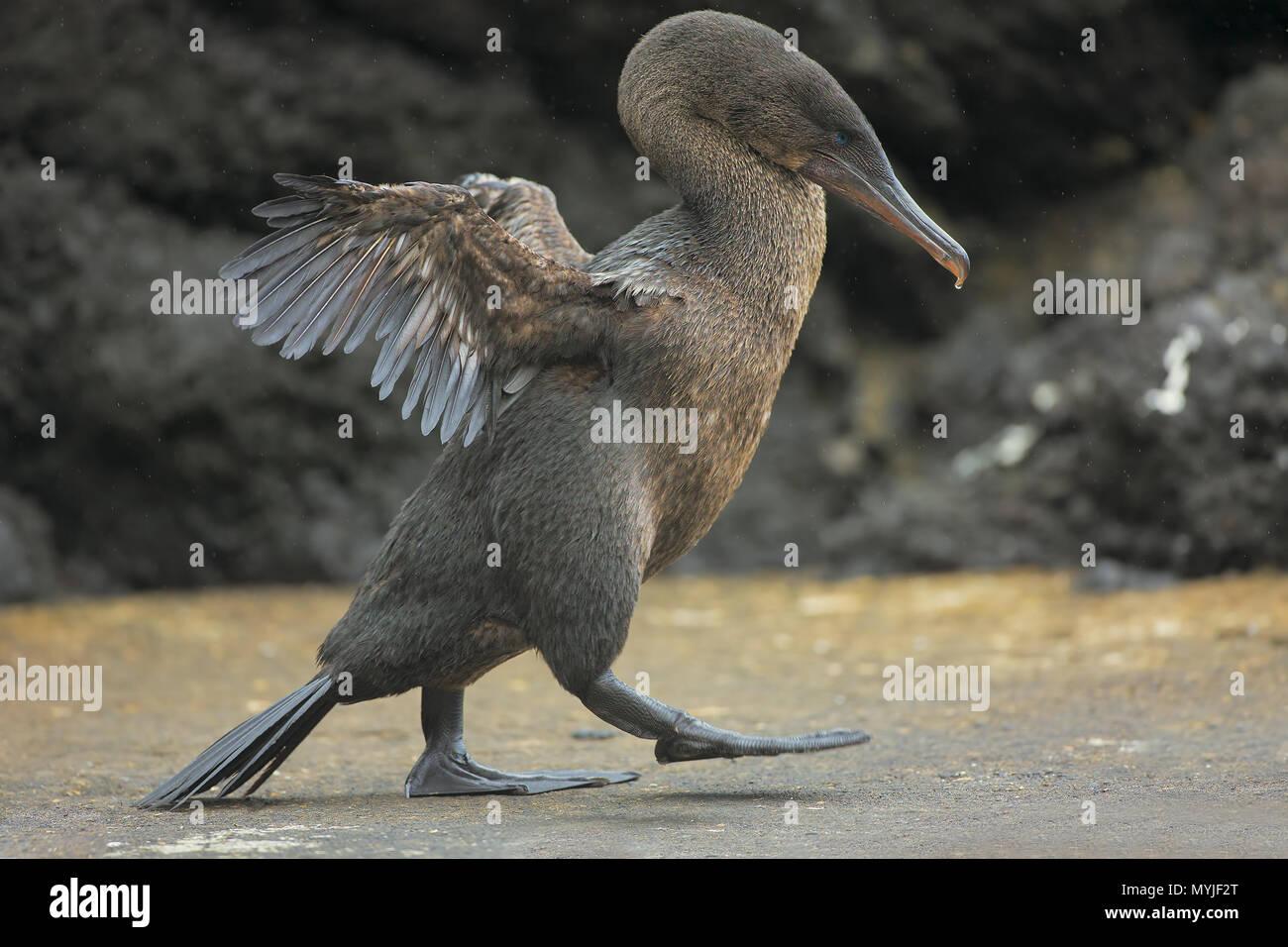 Flightless Cormorant - Stock Image