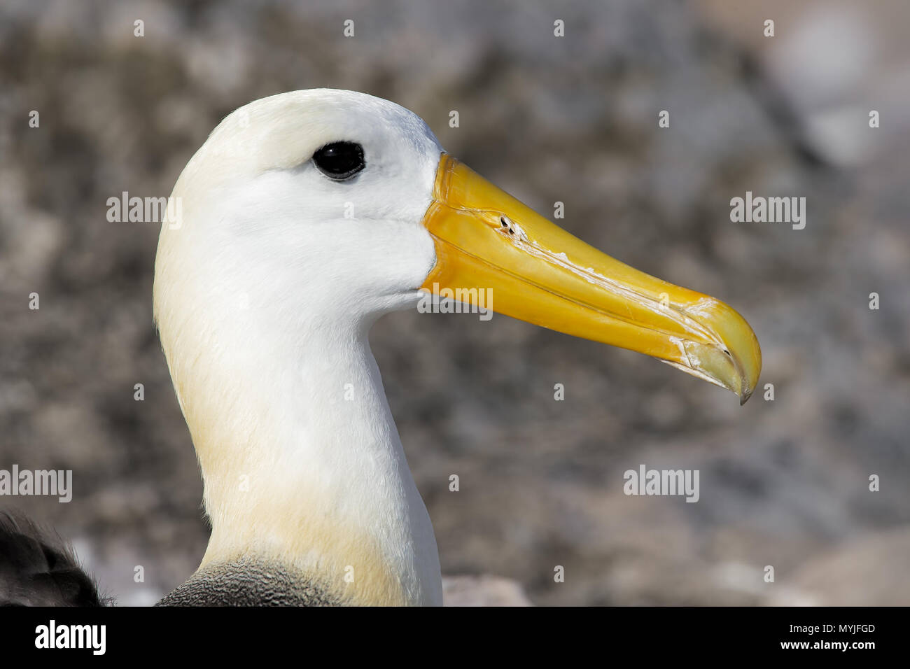 Waved Albatross - Stock Image