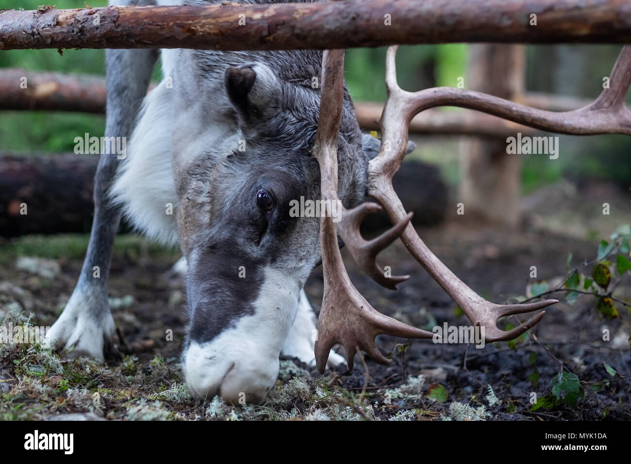 A reindeer eats a bowl in a pen. - Stock Image