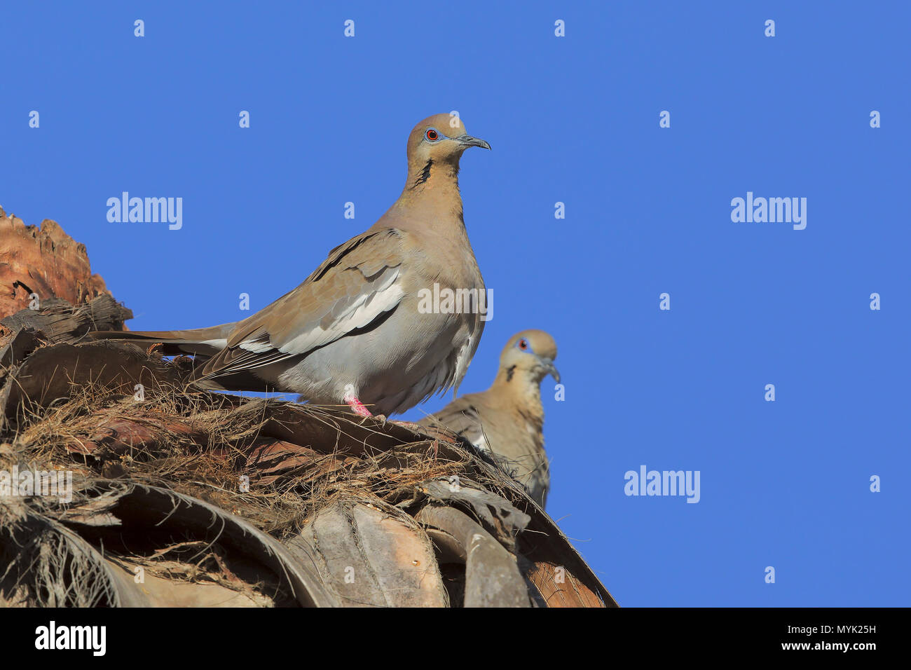 White-winged dove - Stock Image