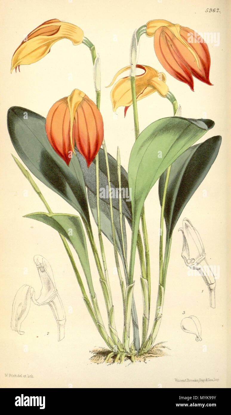 . Illustration of Masdevallia ignea . 1872. Walter Hood Fitch (1817-1892) del. et lith. Description by Joseph Dalton Hooker (1817—1911) 353 Masdevallia ignea - Curtis' 98 (Ser. 3 no. 28) pl. 5962 (1872) - Stock Image