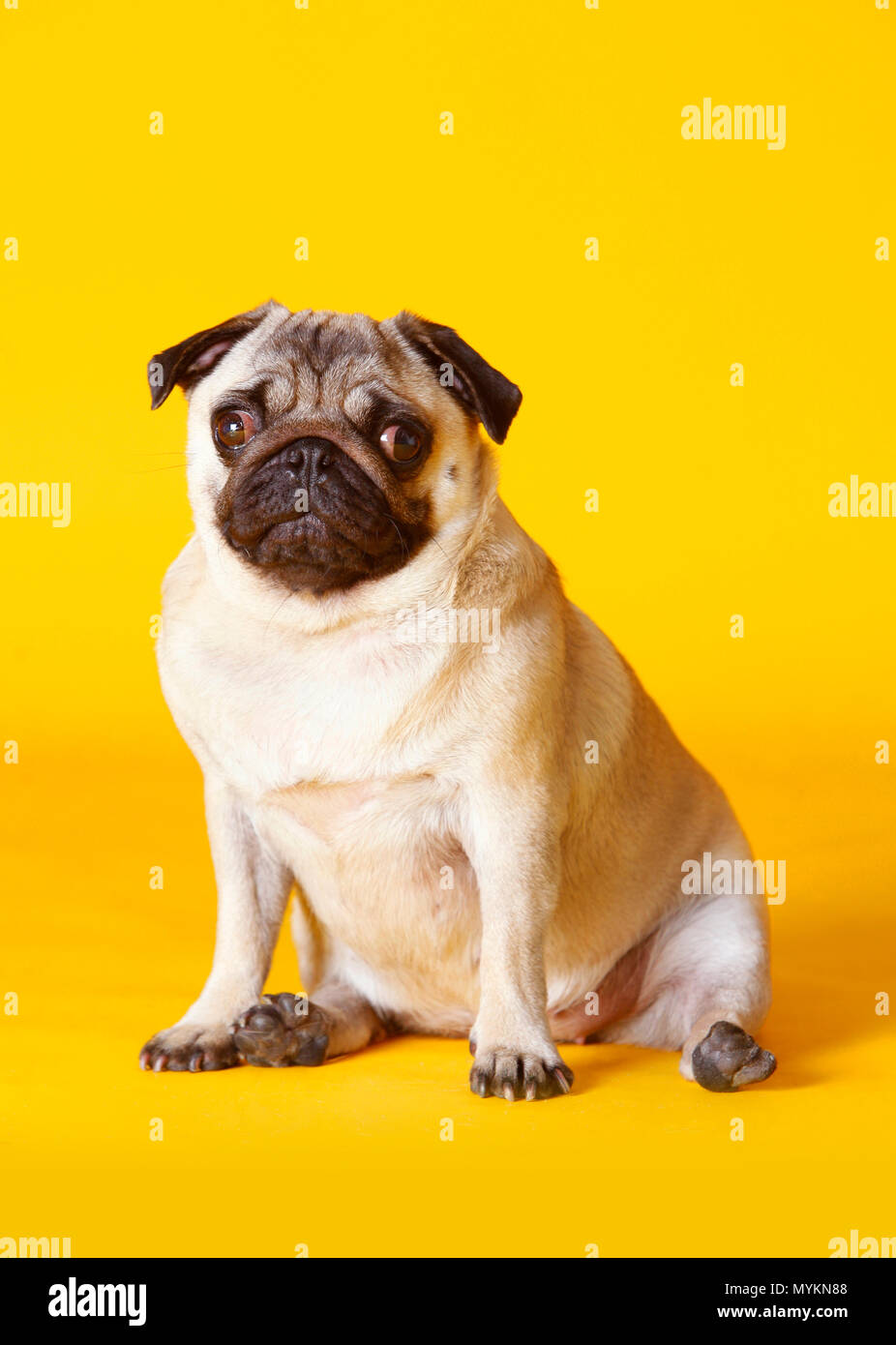 pug dog with yellow background in studio - Stock Image