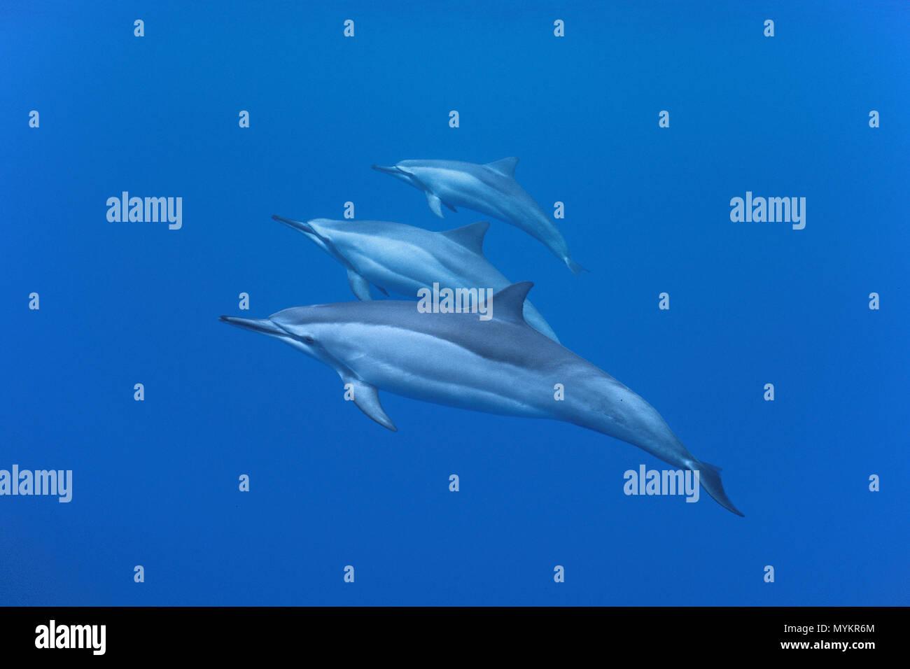 Spinner dolphins (Stenella longirostris), Ogasawara Islands, Japan - Stock Image