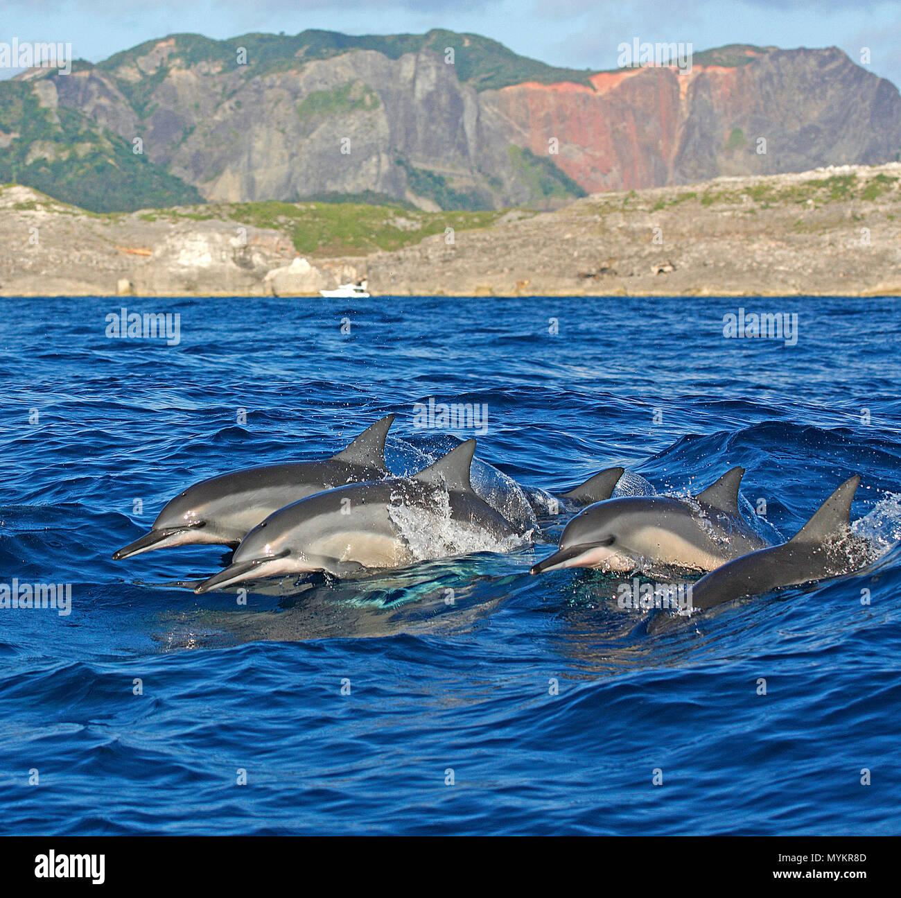 Spinner dolphins (Stenella longirostris), jumping, Ogasawara Islands, Japan - Stock Image