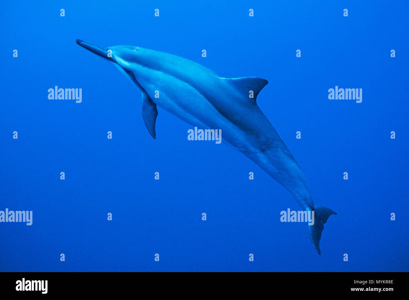 Spinner dolphin (Stenella longirostris), Ogasawara Islands, Japan - Stock Image