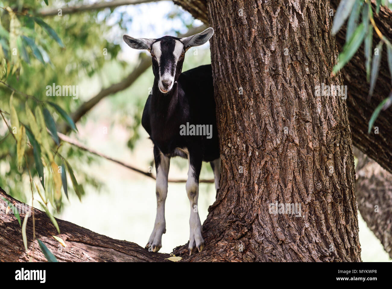 Goat standing on eucalyptus tree in rural area of South Australia - Stock Image