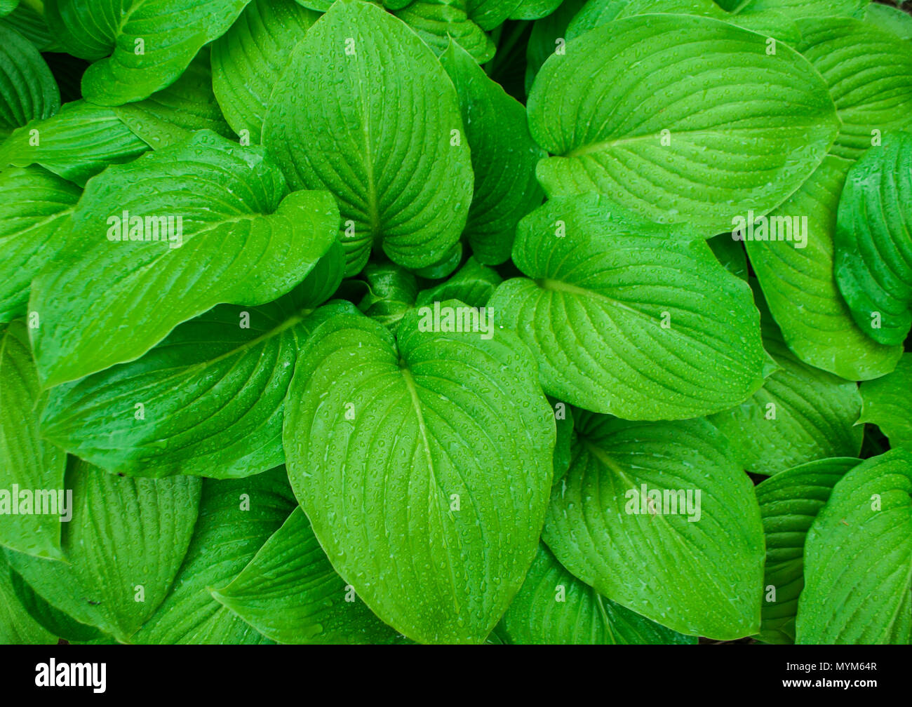 Beautiful bright green tropical leaves with rain drops. Textured floral background. Stock Photo