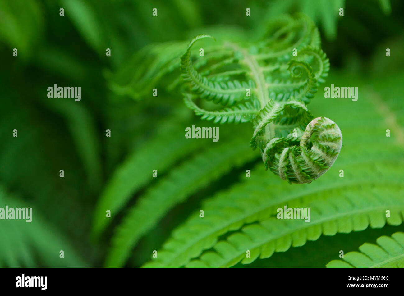 Beautiful bright green fern leaves. Textured floral background. Stock Photo