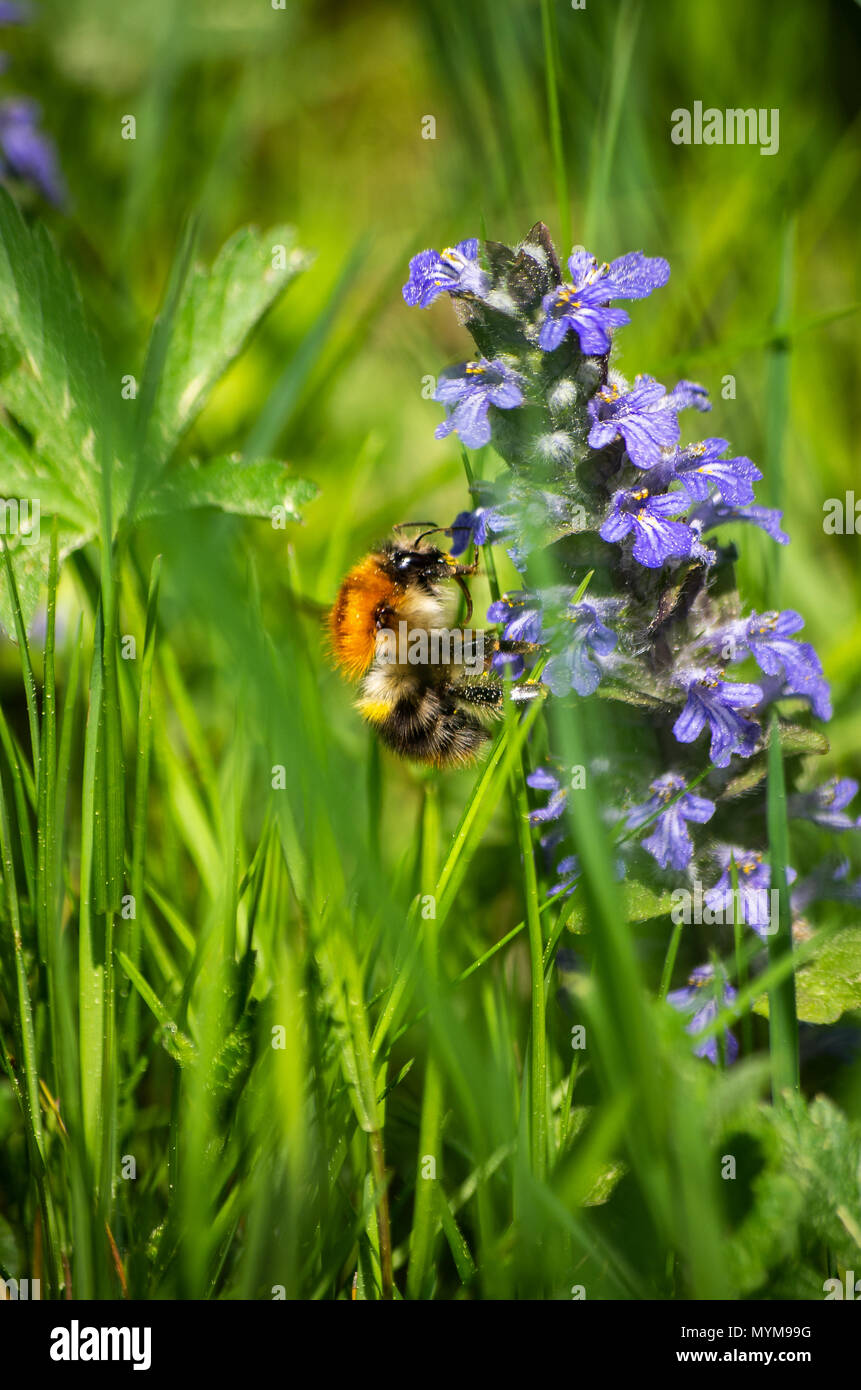 Bumble-bee feeding on blue flowers in green grass close up Stock Photo