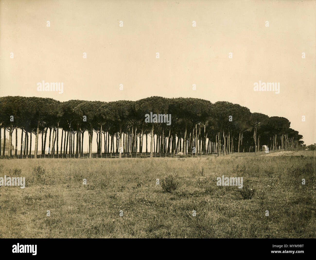 Pine tree forest, Italy 1930s - Stock Image