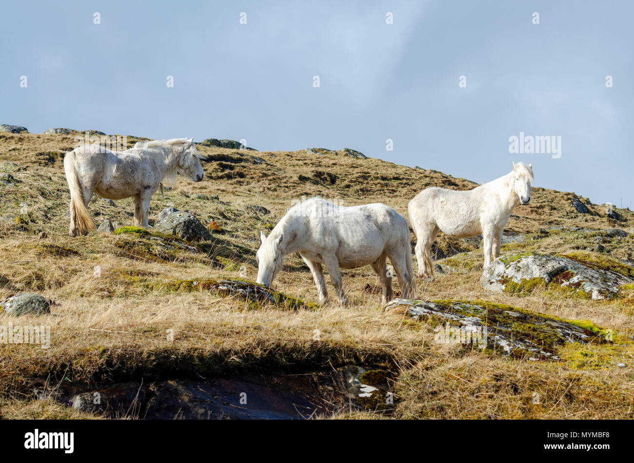The wild white ponies of the Isle of Eriskay in the Outer Hebrides of Scotland - Stock Image