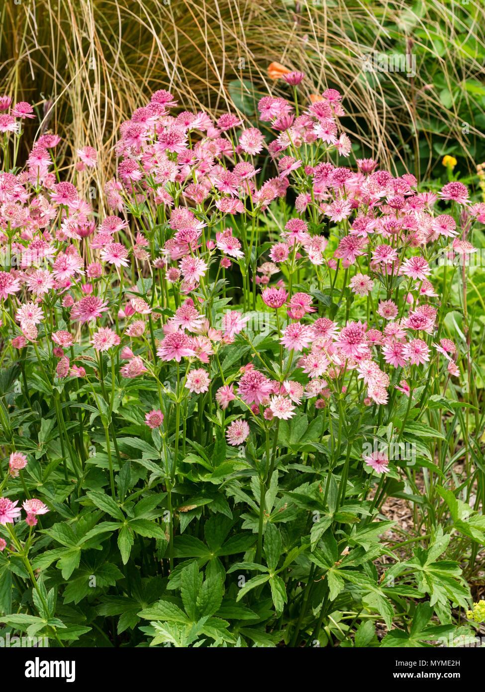 Massed Pink Flowers Of The Long Blooming Summer Flowering