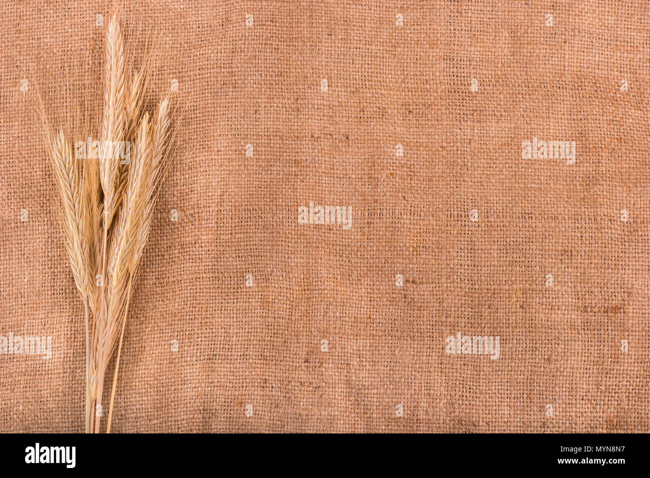 Several ears of corn harvested wheat on sacking - Stock Image