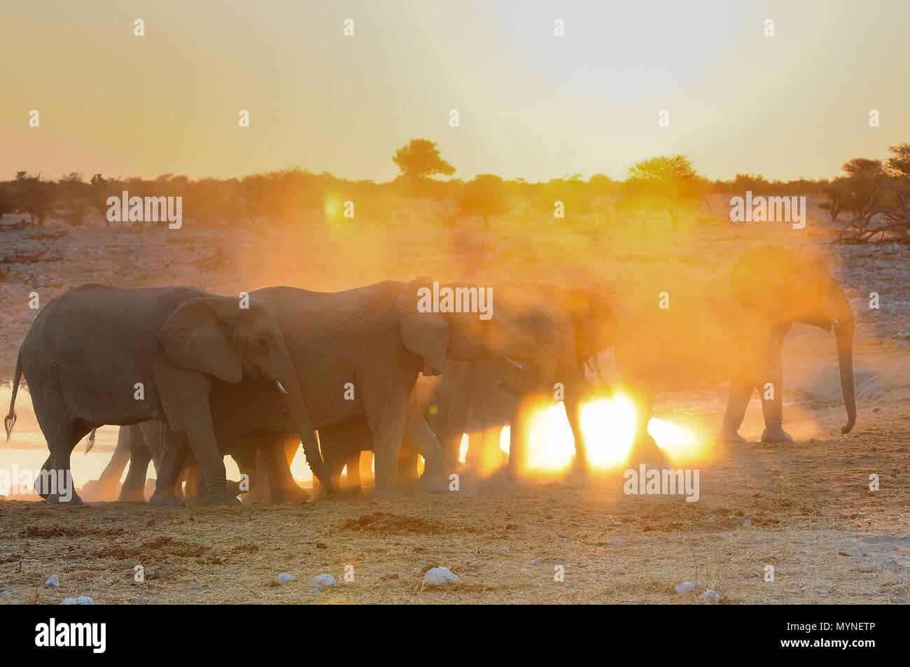 African elephant herd at sunset, etosha nationalpark, namibia, (loxodonta africana) - Stock Image