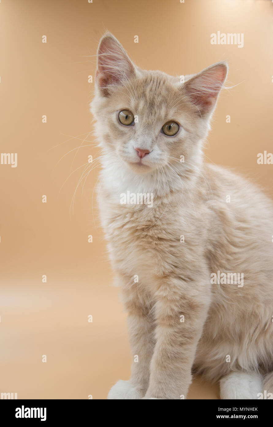 13 week old male  sandy orange kitten posing for pictures in a lightbox. - Stock Image