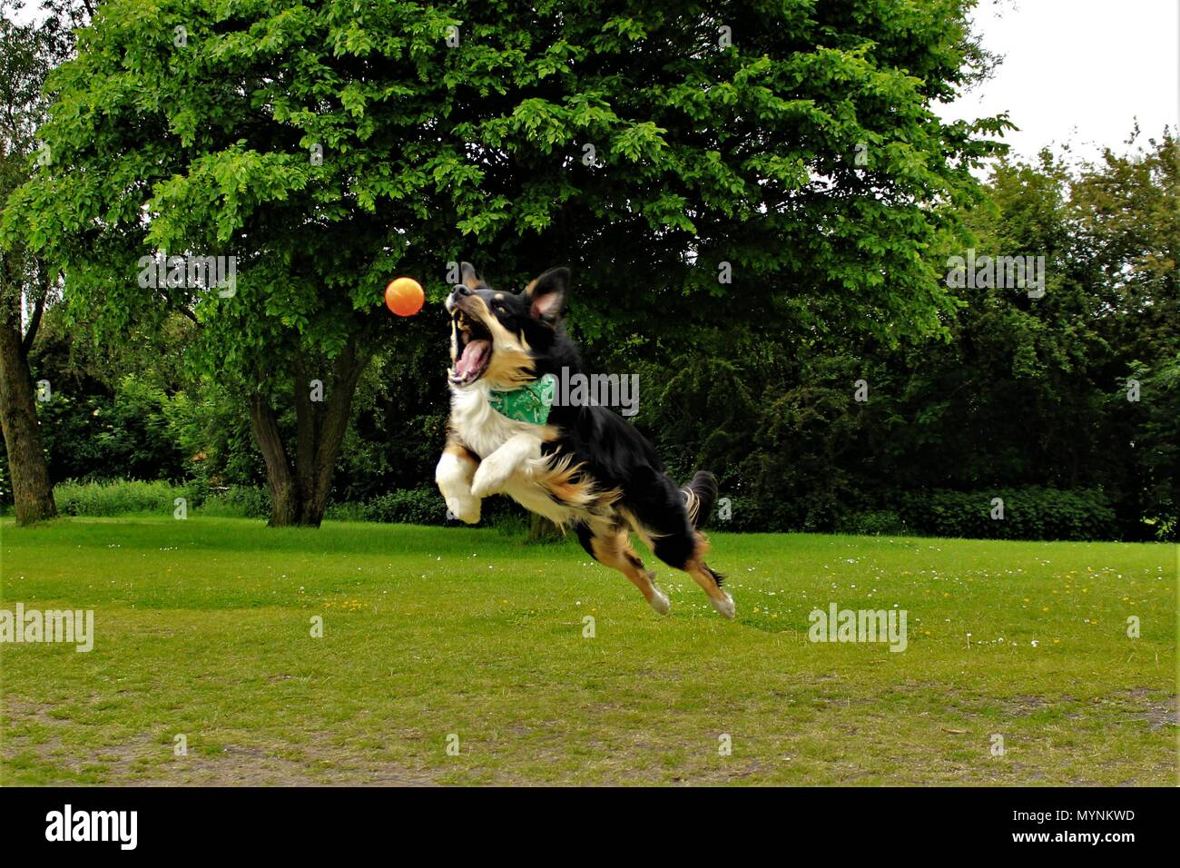 A male Collie X dog leaping through the air to catch his ball. - Stock Image
