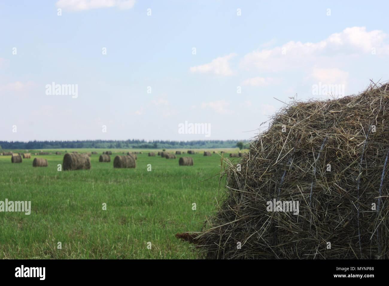 Hayfield. Round straw haystacks on a green field - Stock Image