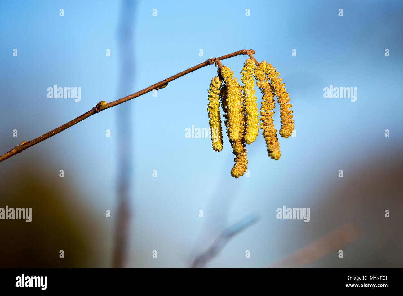 A close-up, narrow depth of field shot of a catkins plant in West Hanney, Oxfordshire, UK - Stock Image