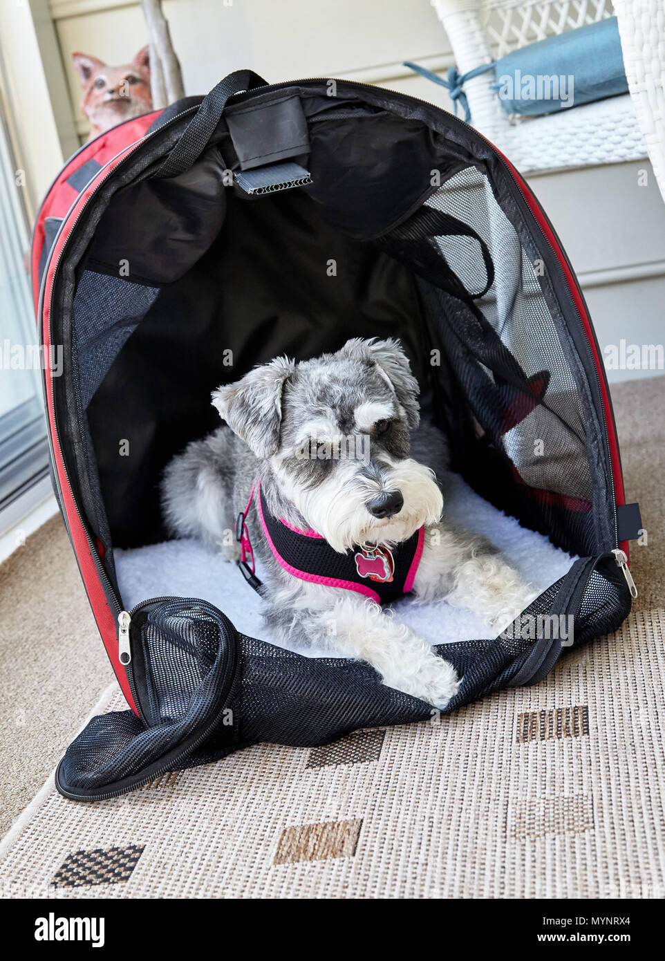 Miniature Schnauzer dog in doggie bed - Stock Image