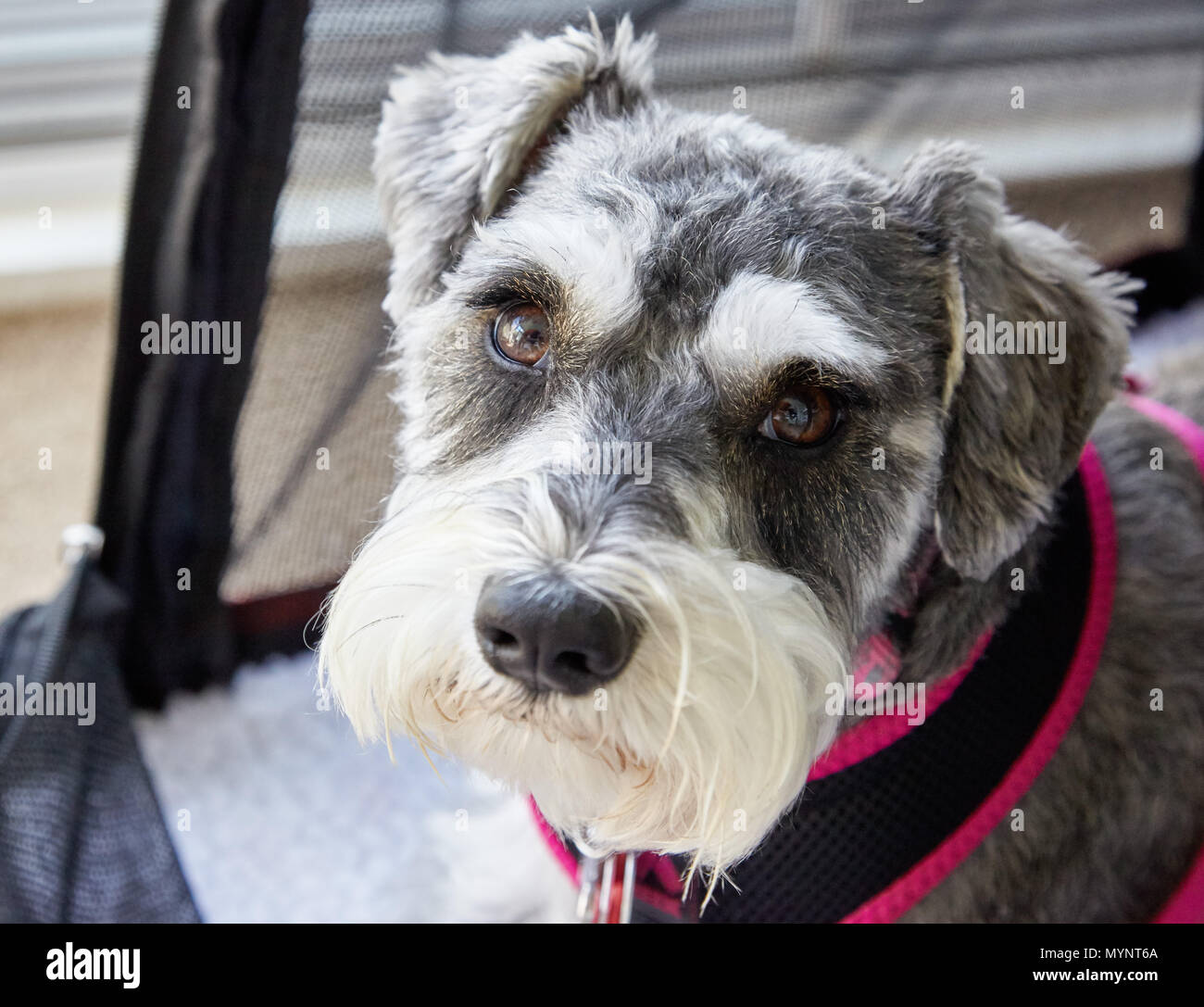 Miniature Schnauzer  resting on bed - Stock Image