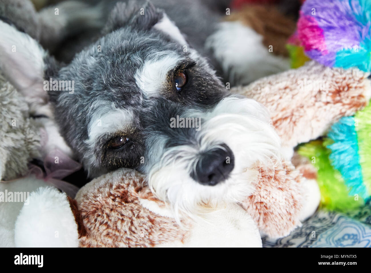 Dog Laying On Bed With Stuffed Animals Stock Photo 189179933 Alamy