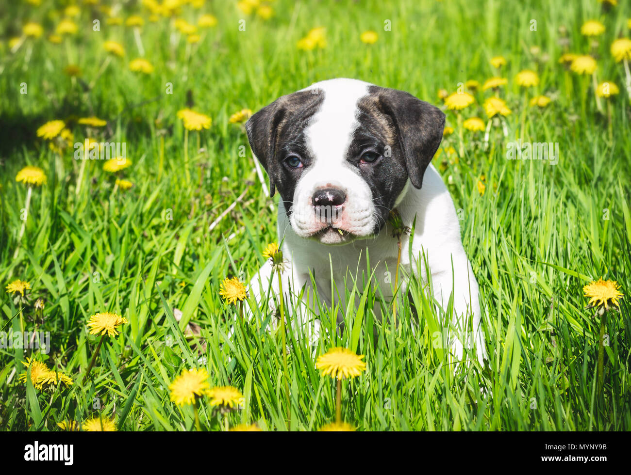 American Bulldog Puppy Stock Photos & American Bulldog Puppy