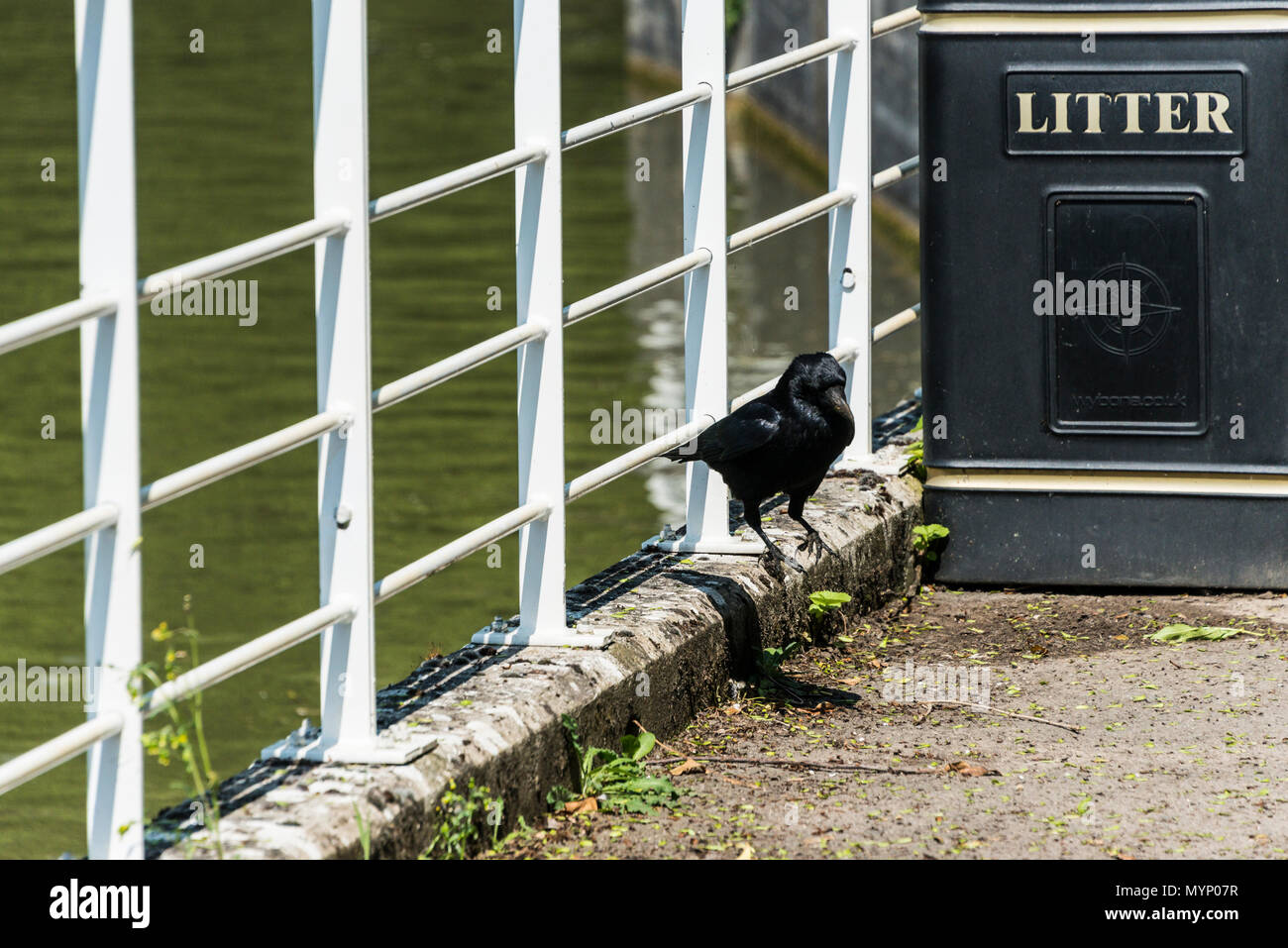 A carrion crow (Corvus corone) jumping down from railings on to the towpath next to a litter bin by the Kennet & Avon canal - Stock Image